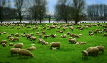 SPANISH LAMBS FOR EXPORT TO THE MIDDLE EAST AND ARAB COUNTRIES